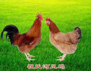祝氏河凤鸡